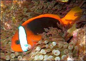 Cinnamon Clownfish, Amphiprion melanopus