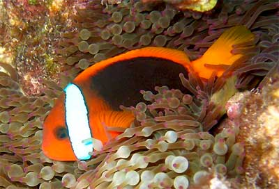 Cinnamon Clownfish, Amphiprion melanopus, Red and Black Anemonefish