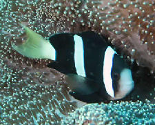 Clark's Anemonefish, Amphiprion clarkii, Black Variety
