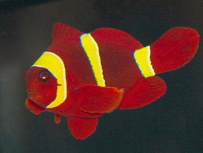 Gold Stripe Maroon Clownfish, Premnas biaculeatus, Spinecheek Anemonefish