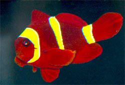 Picture of a Gold Stripe Maroon Clownfish Premnas biaculeatus