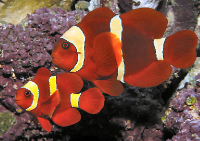 Maroon Clownfish Pair Photo