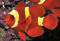 Animal-World info on Maroon Clownfish