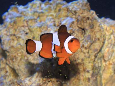 Picture of a Ocellaris Clownfish or False Percula Clownfish