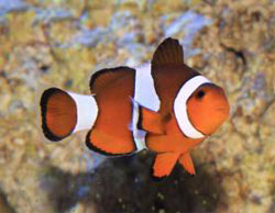 The Ocellaris Clownfish Amphiprion ocellaris