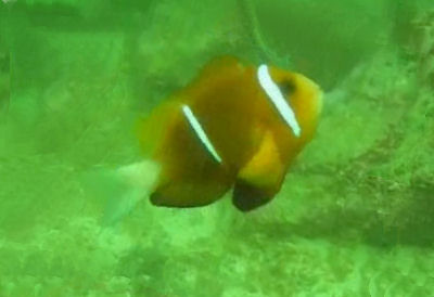 Oman Anemonefish Amphiprion omanensis in its natural habitat!