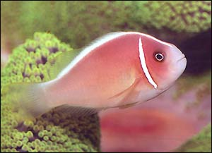Pink Skunk Clownfish, Amphiprion perideraion