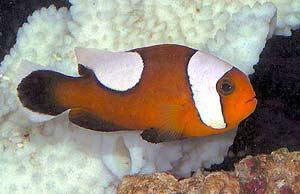 Saddlback Clownfish, Amphiprion polymnus