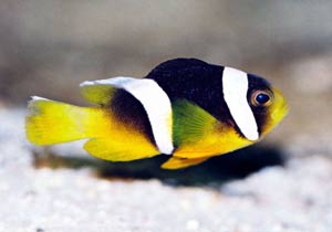 Sebae Clownfish, Amphiprion sebae