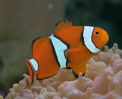 True Percula Clownfish, Amphiprion percula, Orange Anemonefish