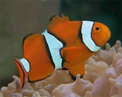 True Percula Clownfish, Amphiprion percula