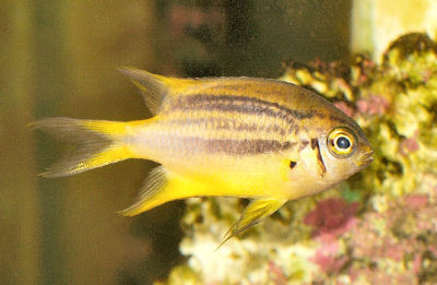 Black And Gold Chromis Neoglyphidodon Nigroris Blackmouth Bicolor