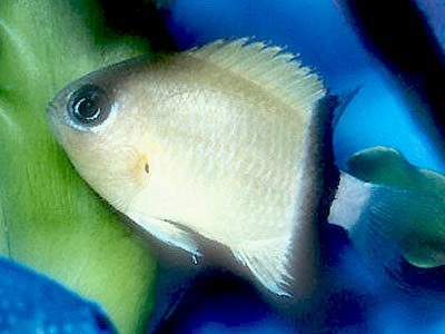 Black Bar Chromis, Chromis retrofasciata, Black Back Chromis