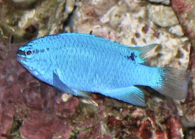 Blue Devil Damselfish (female) Chrysiptera cyanea