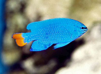 Blue Devil Damselfish, Chrysiptera cyanea, Orangetail Damselfish