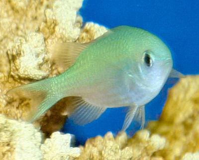 Blue Green Chromis, Chromis viridis, Green Chromis