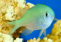 Animal-World info on Blue-green Chromis