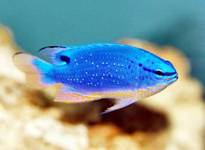 Fiji Blue Devil Damselfish, Chrysiptera taupou, South Seas Demoiselle