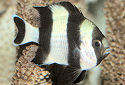 Click for more info on Four Stripe Damselfish