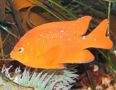 Garibaldi, Hypsypops rubicundus, Garibaldi Damselfish