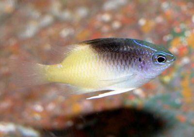 Rolland's Damselfish, Chrysiptera rollandi, Black Cap Damselfish