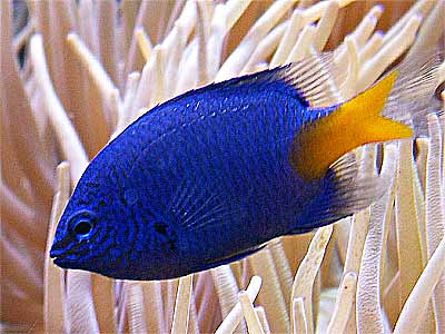 Yellowtail Blue Damselfish, Chrysiptera parasema, Goldtail Demoiselle