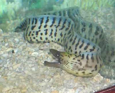 Picture of a Leopard Eel, Gymnothorax sp.