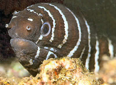 Picture of a Zebra Moray Eel