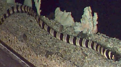 Picture of a Banded Snake Eel