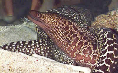 Picture of a Common Moray and Chainlink Moray Eel