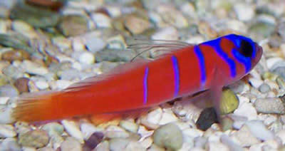 Picture of a Catalina Goby, Synchiropus splendidus