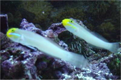 Picture of a Golden-headed Sleeper Goby, Blueband Goby, or Pennant Glider, Valenciennea strigata