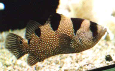 Picture of a Clown Grouper or Bearded Grouper