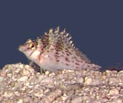Picture of a Falco Hawkfish or Dwarf Hawkfish