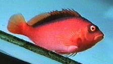 Picture of a Flame Hawkfish or Brilliant Red Hawkfish