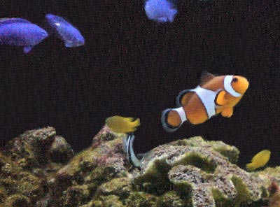 Saltwater Fish for the Beginner, with Ocellaris Clownfish, Blue Devil Damsels, and Lemon Damsels