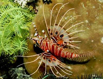 Antennata Lionfish Pterois antennata