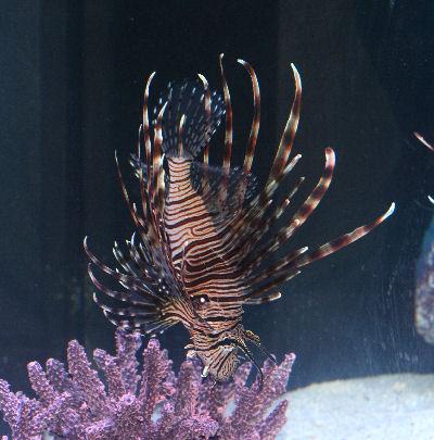 Volitan Lionfish Picture