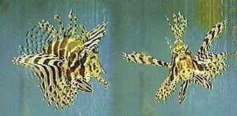 Shortfin Lionfish - Dendrochirus brachypterus