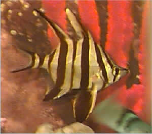 Picture of an Oldwife, Enoplosus armatus