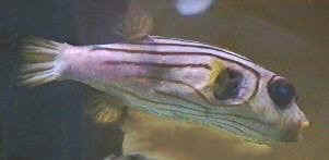 Picture of a Striped Puffer or Narrow-lined Toadfish