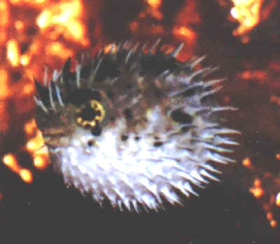 Picture of a Porcupine Puffer or Porcupinefish