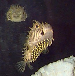 Picture of a Striped Burrfish or Spiny Boxfish