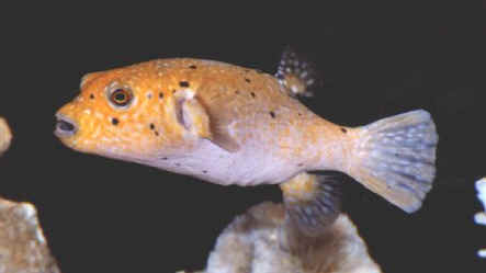 Picture of a Black-spotted Puffer