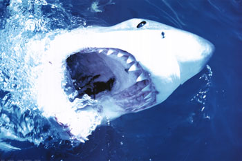 Get this Great White Shark Poster Here!