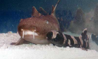 Picture of a Nurse Shark