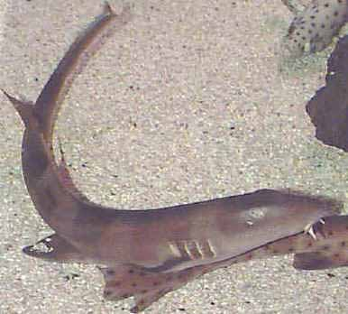Picture of a Cat Shark