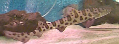 Picture of a West Coast Leopard Shark