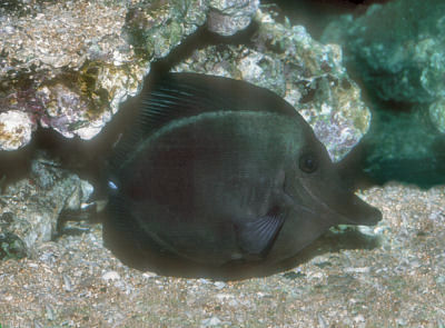 Picture of a Black Longnose Sailfin Tang or Longnose Surgeonfish, Zebrasoma rostratum