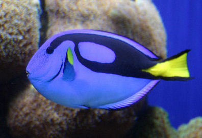 Picture of a Blue Tang ot Regal Tang, or Indo-Pacific Blue Tang
